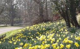 Daffodils at Barnwell